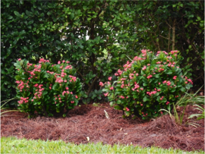 pine-straw-mulch-around-flowers