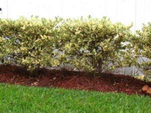 pine-straw-mulch-fenceline