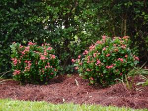 pine-straw-mulch-around-flowers