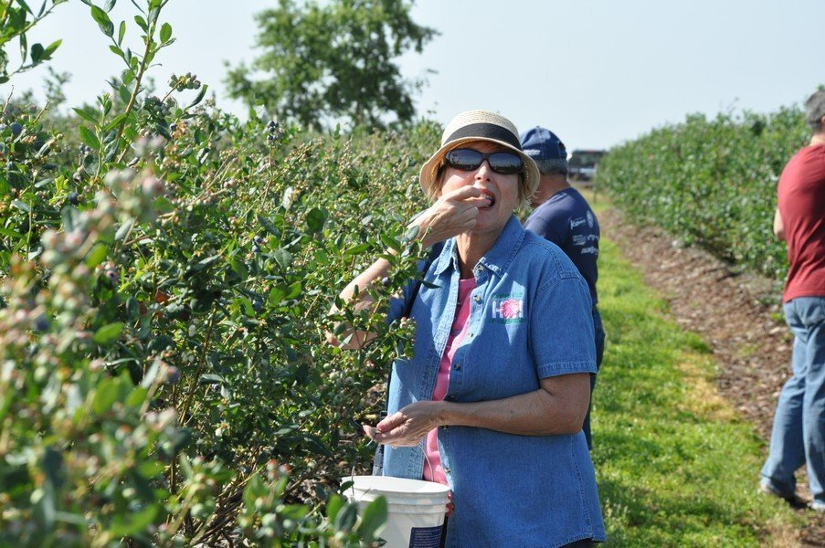 4-20-2018 Blueberry picking