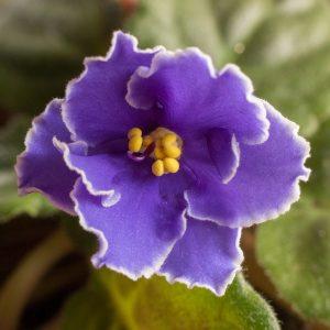 Care of African Violets - Linda Price @ Heritage Hall | Celebration | Florida | United States