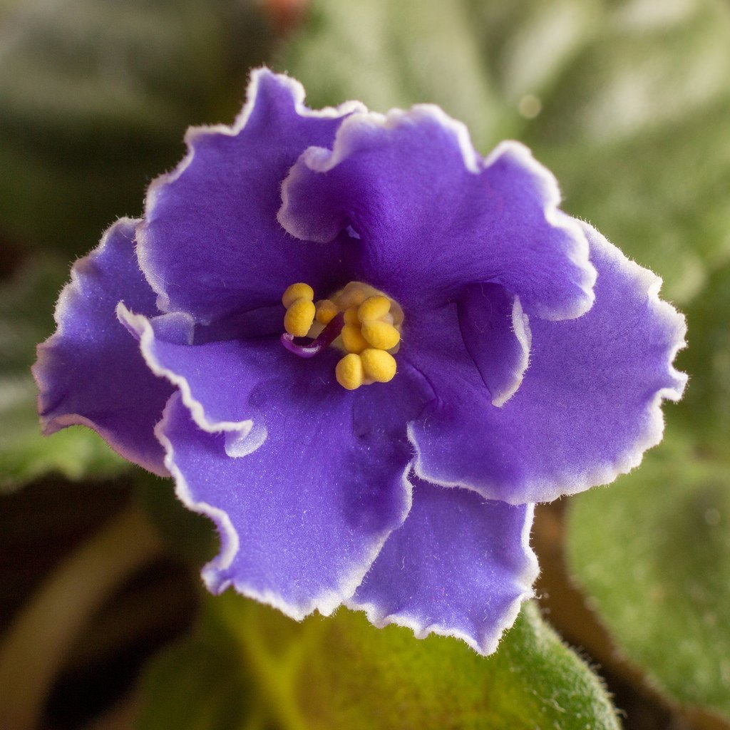 Care of African Violets – Linda Price