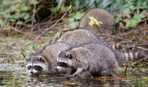Racoons - love them or hate them, learn why! @ Heritage Hall